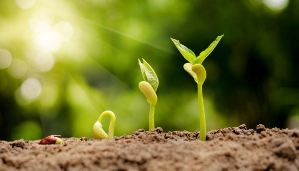 germinating seed to sprout of nut in agriculture and plant grow sequence with sunlight and green background